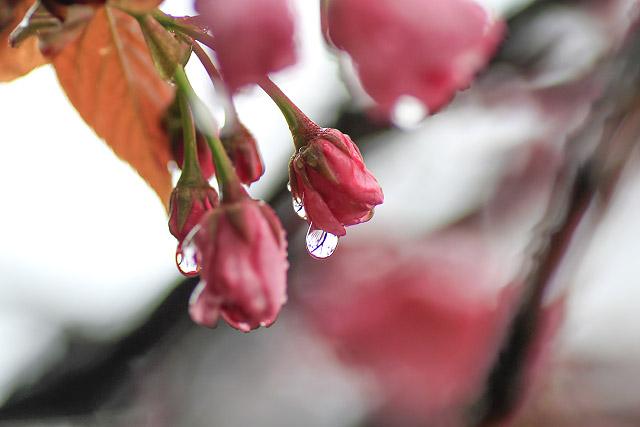 船上山 八重桜
