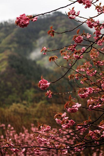 船上山 千丈滝 八重桜