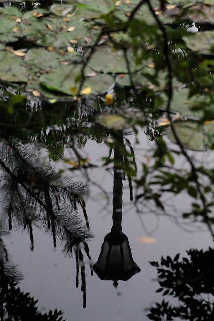 松江市 大根島 楽山公園 睡蓮