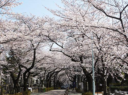 bochisakura.jpg