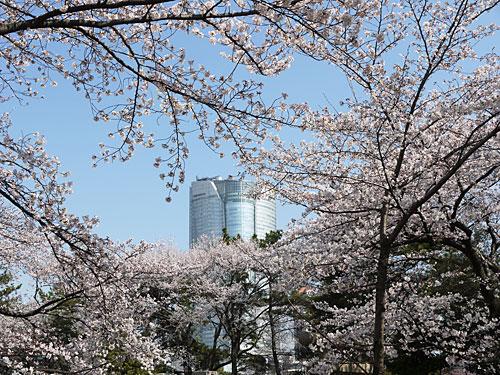bochisakura2.jpg