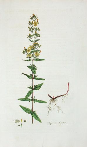 Hypericum hirsutum