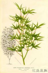 Linden1870Acer palmatum crispum