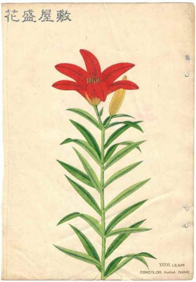 Lilium Concolor