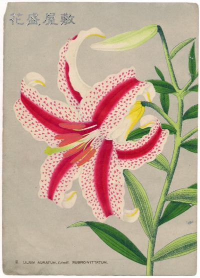 Lilium Auratum Rubro-Vittatum