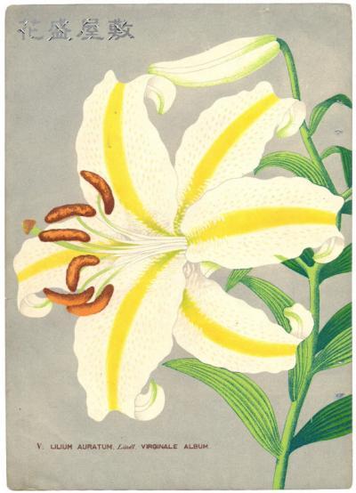 Lilium Auratume Alba