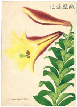 Lilium Brownii