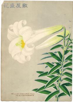 Lilium Longiflorum albo-marginatis