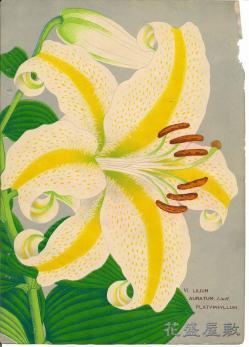 Lilium auratum platphyllum