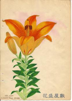 Lilium elegans Orange