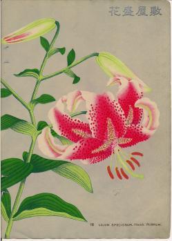 VIII. Lilium Speciosum rubrum