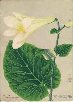 XIII Lilium cordifolium
