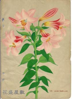 XVIII. Lilium rubullum