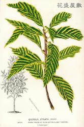 1854 Quercus Lemaire.jpg