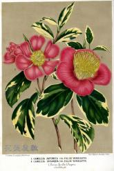 1854 Camellia Japonica & Camellia Sesanqua Lemaire