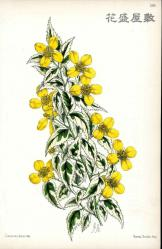 1866 KERRIA JAPONICA VARIEGATA Andrew