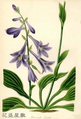 1830's Hemerocallis sieboldii PAXTON