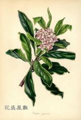 1841 Daphne japonica PAXTON