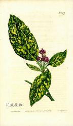 1809 Aucuba japonica CBM