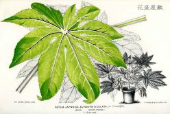 1870s Fatsia Japonica Aureo-reticulata J. LINDEN