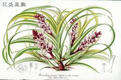1854 Reineckea carnea Lemaire