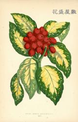 1869 Aucuba Japonica Aureo-Maculata Shirley Hibberd