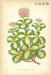 1869 Sedum Sieboldii Medio Variegatum Shirley Hibberd.jpg