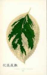 1861 Hydrangea Japonica Variegata Edward Joseph Lowe