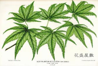 1870 Acer palmatum reticulatum J. LINDEN