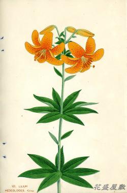 Japan Lily XIX