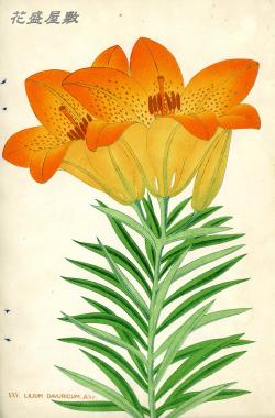 Japan Lily XXV