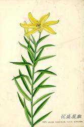 Japan Lily XXXV