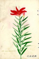 Japan Lily XXXIV