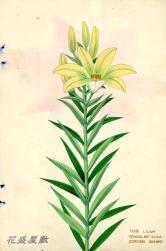 Japan Lily XXXIII