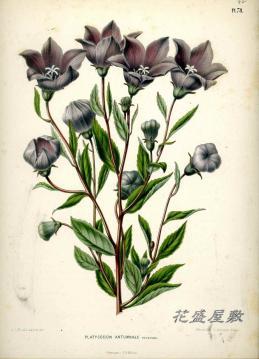 Wendel 1876 C. antumnale