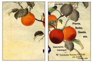USDA Pomological Watercolor Collection  YokohamaN
