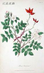 Cox 1820 RosaCanina
