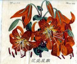 sm-Friedrich Justin Bertuch Tiger lily
