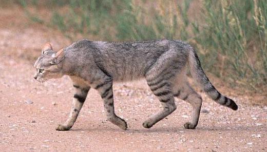 リビア山猫