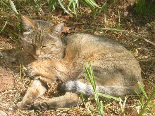 リビア山猫2