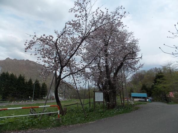桜+001_convert_20130522204656