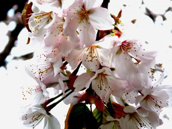 桜+010_convert_20130522213356