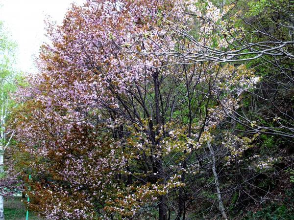桜+056_convert_20130522214054