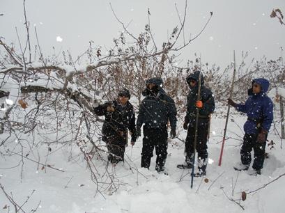 雪の上で剪定が始まっています