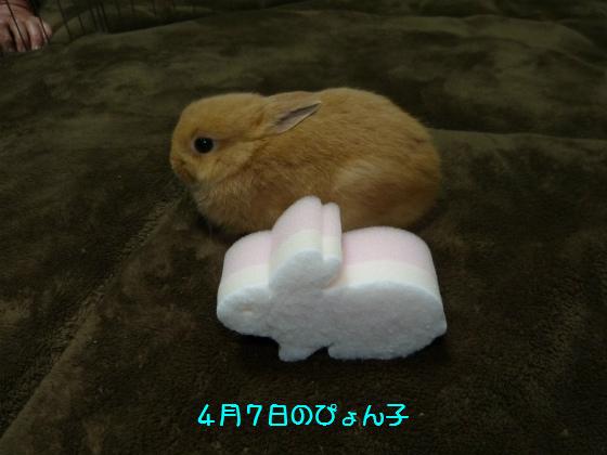 ぴょん子130427_01
