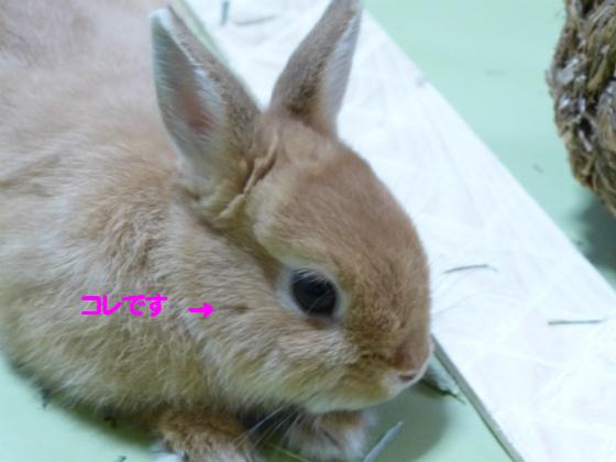 ぴょん子1306018_02