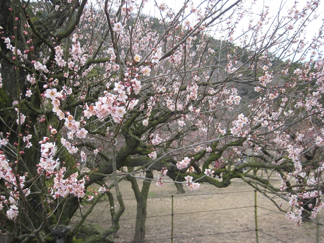 栗林公園の梅