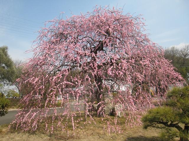 園芸総合センターの梅