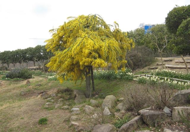 香川県園芸総合センターのミモザ