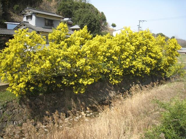 堂谷川沿いのミモザ